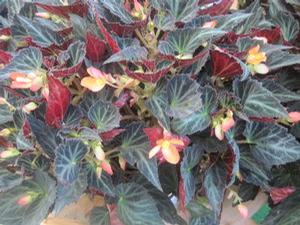 Begonia boliviensis 'Sparks Will Fly'