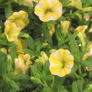Calibrachoa 'Superbells® Lemon Slice®'