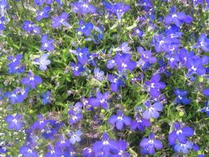 Lobelia 'Early Springs™ Dark Blue'