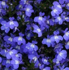 Lobelia 'Early Springs Sky Blue'