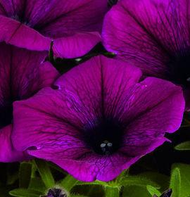 Petunia 'Potunia® Plus Purple'