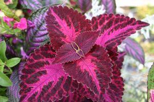 Coleus 'Grape Expectations'
