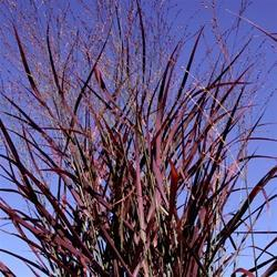 Panicum virgatum 'Hot Rod Red'