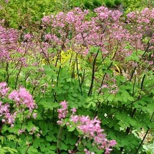Thalictrum sp. 'Black Stockings'
