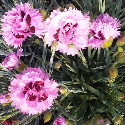 Dianthus 'Early Bird® Fizzy'