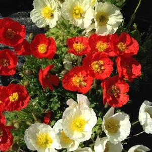 Papaver nudicaule 'Spring Fever™ Mix'