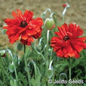 Papaver orientale 'Red Shades'