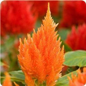 Celosia Ice Cream Orange