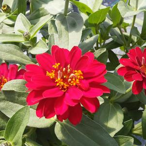 Zinnia 'Profusion Double Cherry Hot'