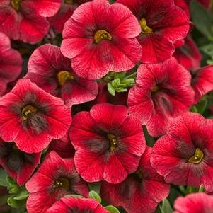 Calibrachoa 'Superbells® Pomegranate Punch'
