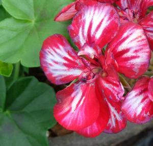 Geranium 'Sarita Sun Star Red'