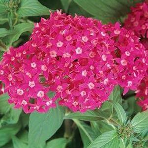 Pentas 'Butterfly Deep Rose'