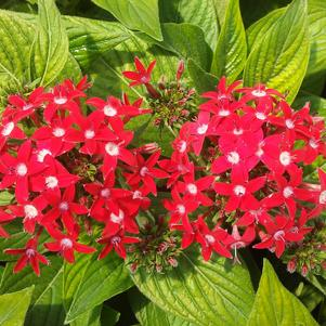 Pentas 'Butterfly Red'