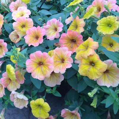 Petunia 'Cascadia™ Indian Summer'