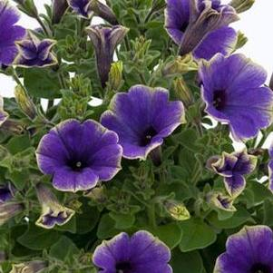 Petunia 'Moonlight Eclipse (Blue with Green Edge)'