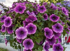Petunia 'Surprise Grape'