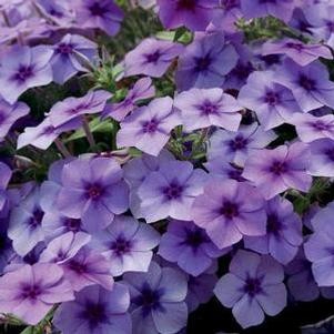 Phlox drummondii 'Intensia® Blueberry'