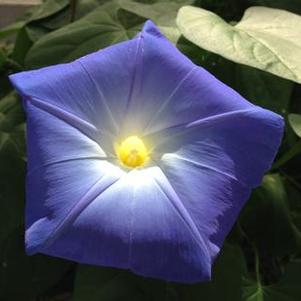 Ipomoea purpurea 'Heavenly blue'
