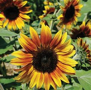 Sunflower 'Firecracker'