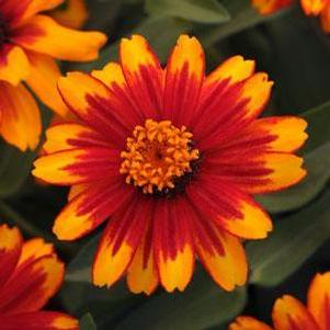 Zinnia marylandica 'Zahara Sunburst'