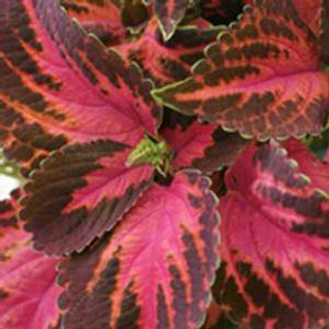 Coleus 'Colorblaze® Kingswood Torchlight'