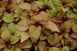 Coleus 'Orange King'