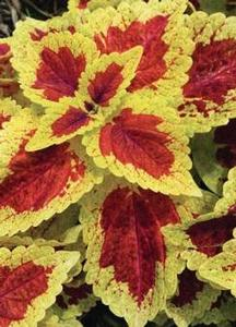 Coleus 'Stained Glassworks™ Raspberry Tart'