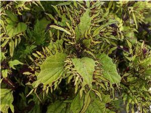 Coleus 'Under the Sea Gold Anemone'