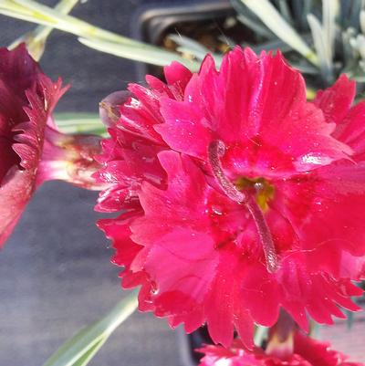 Dianthus 'Fire Star'