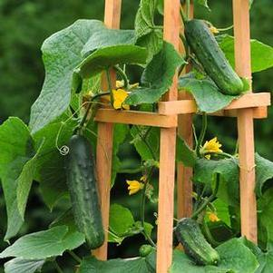 Cucumber 'Patio Snacker'