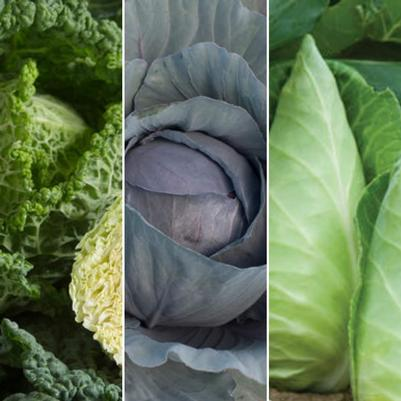 Cabbage 'Compact Mixed Varieties'