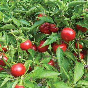 Pepper 'Capperino Cherry'