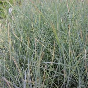 Festuca 'Beyond Blue'