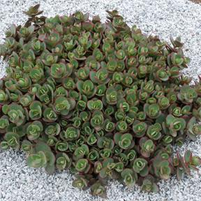 Sedum 'Sunsparkler® Lime Zinger'