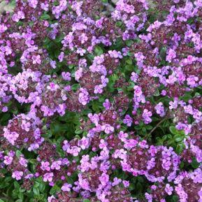 Thymus 'Cayborn Wine and Roses'