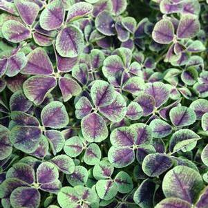 Trifolium 'Dark Dancer™'