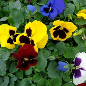 Pansy 'Spring Matrix Blotch Mix'