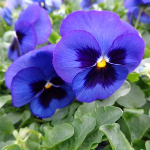 Pansy 'Spring Matrix Blue Blotch'