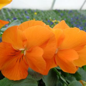 Pansy 'Spring Matrix Deep Orange'
