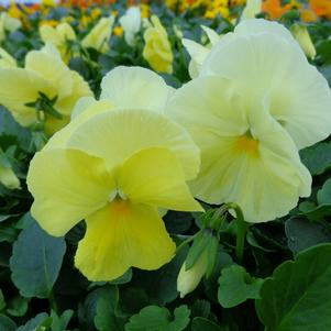 Pansy 'Spring Matrix Lemon'