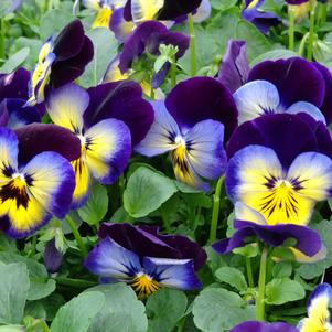 Pansy 'Spring Matrix Midnight Glow'