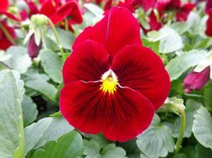 Pansy 'Spring Matrix Scarlet sub Delta Pure Red'