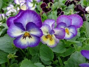 Pansy 'Ultima Radiance Deep Blue'