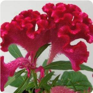 Celosia 'Twisted Red'