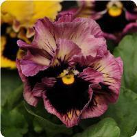 Pansy 'Frizzle Sizzle Passion Fruit'
