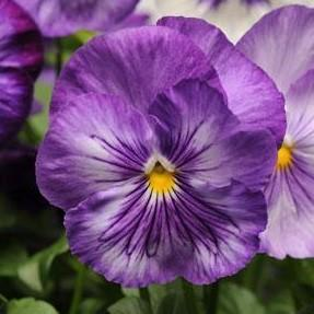 Pansy 'Matrix™ Lavender Shades'