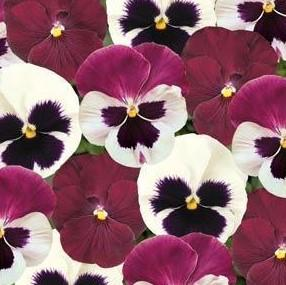 Pansy 'Matrix™ Mix Raspberry Sundae'