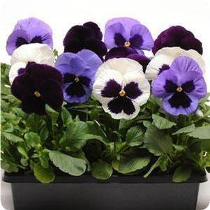 Pansy 'Matrix™ Mix Tanzanite'