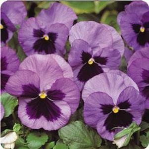 Pansy 'Matrix™ Ocean'