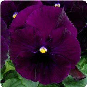 Pansy 'Matrix™ Purple'